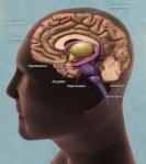 Letak Hipotalamus dan Hipofise